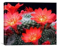 Flowering Cactus, Canvas Print