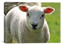 Woolly lamb, Canvas Print