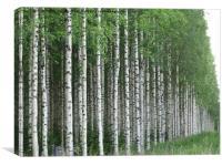 Silver birch forest                               , Canvas Print