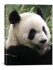 Panda, Canvas Print