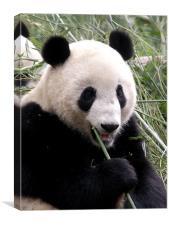 Panda snack break, Canvas Print