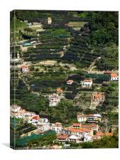 Olive & citrus terraces, Italy, Canvas Print