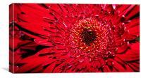 Red Gerbera close up