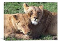 Lionesses in Kenya, Canvas Print