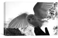 Barn owl landing on Falconers hand, Canvas Print