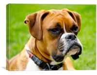 Sidney The Boxer, Canvas Print