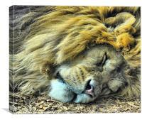 Sleeping Male Lion, Canvas Print