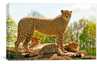 Cheetahs Three, Canvas Print