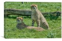 2 Cheetahs, Canvas Print