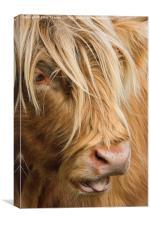 Highland Cow Portrait, Canvas Print