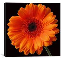 Orange Gerbera, Canvas Print
