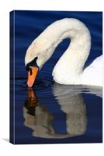 Swan reflection, Canvas Print