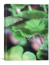 geranium droplet, Canvas Print