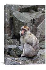 sitting monkey, Canvas Print