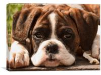 Alfie II Boxer Puppy Dog, Canvas Print