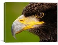Intense gaze of Golden Eagle, Canvas Print