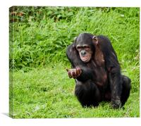 Chimp Please, can I have more?, Canvas Print