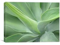 Agave Attenuata, Canvas Print