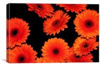 Medley Of Orange Gerberas, Canvas Print