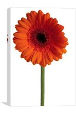 Single Orange Gerbera, Canvas Print