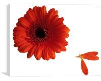 Orange gerbera with loose petals, Canvas Print
