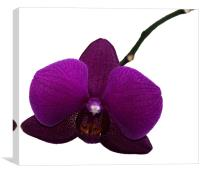 Purple Shimmer Orchid, Canvas Print
