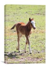 2 week old foal, Canvas Print