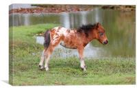 Shetland Foal, Canvas Print