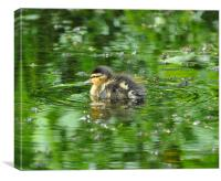Duckling on Green Pond, Canvas Print