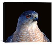 Hawk, Canvas Print