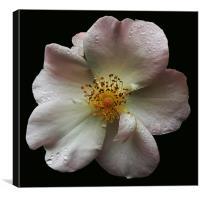 Climbing Rose, Canvas Print