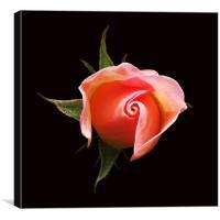 Rose Bud, Canvas Print