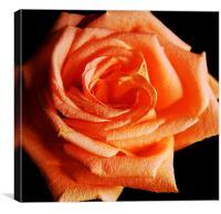 Blazing Rose, Canvas Print