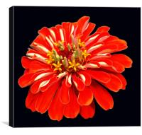 Colorful Red Flower, Canvas Print
