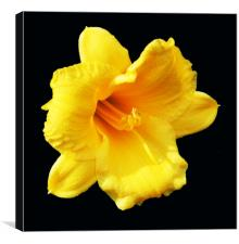 Autumn Daffodil, Canvas Print