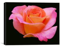 Soft Pink Rose, Canvas Print