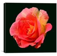 Brand New Rose, Canvas Print