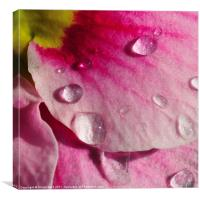 You Big Drip, Pansy!, Canvas Print