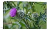 Thistle not hurt, Canvas Print
