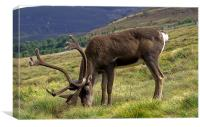 Highland Reindeer, Canvas Print