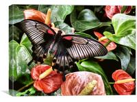 swallowtail butterfly on anthuriums (painted effec, Canvas Print