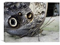 owl butterflies, Canvas Print