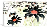 field of black daisies, Canvas Print