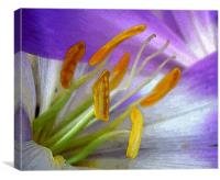 painted crocus, Canvas Print