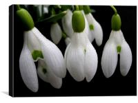 simply snowdrops, Canvas Print