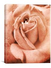 antique pink rose, Canvas Print