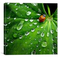 ladybird on a rainy day, Canvas Print