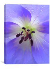 painted geranium, Canvas Print