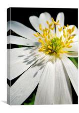 anemone shadows, Canvas Print