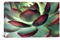 Echeveria elegans, Canvas Print